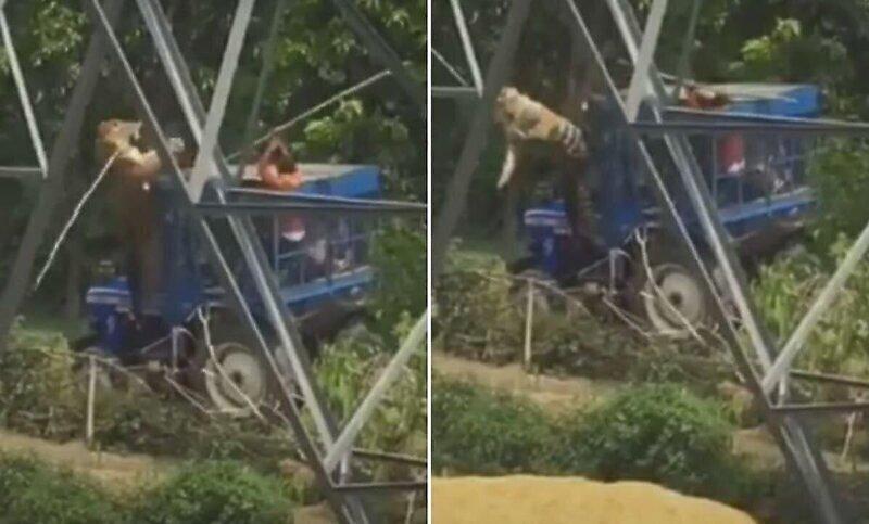Тракторист смог отбиться от тигра с помощью палки