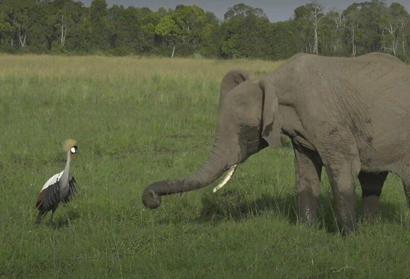 Журавль не испугался слона и отогнал его от своего гнезда