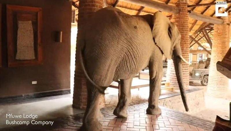 Слон забрел в отель в поисках фруктов