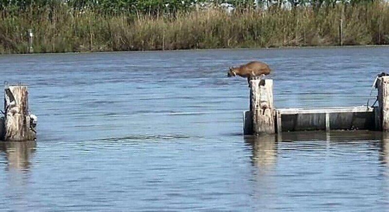 Эффектные прыжки рыси по столбам плотины в США сняли на видео