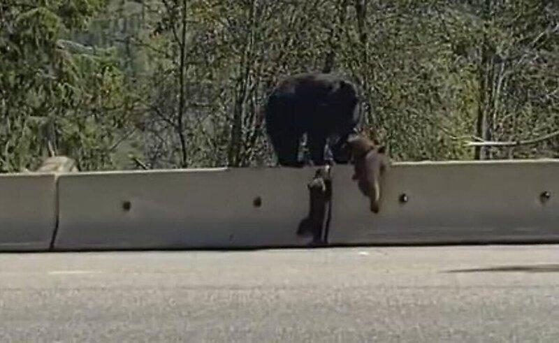 Медвежонок показал брату, как залезть на дорожный барьер
