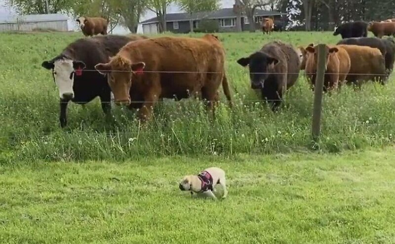 Любопытные коровы испугали играющего на лужайке мопса