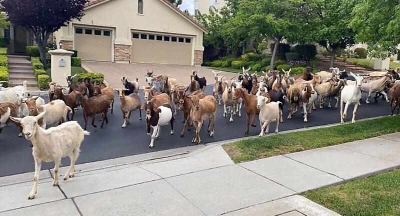 Сбежавшие с фермы козы устроили переполох в американском городе