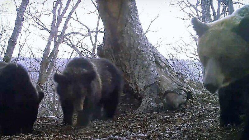 Медвежье семейство развернуло фотоловушку и запечатлело других хищников с необычного ракурса