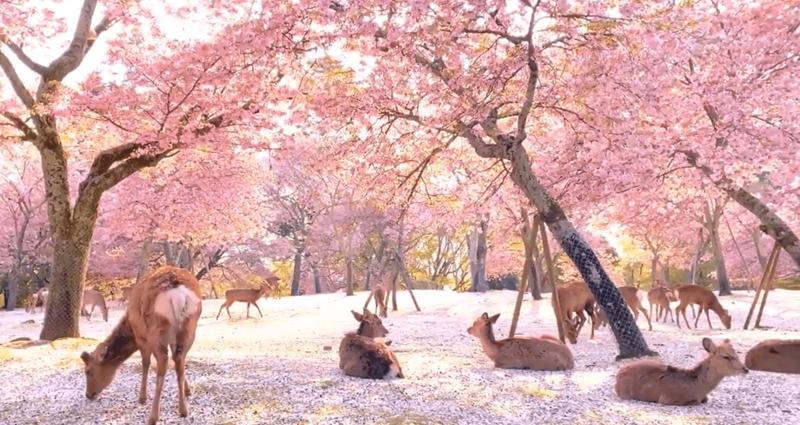 Сказочная сцена в парке, где олени наслаждались цветением сакуры