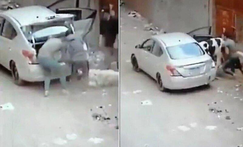 Похитители скота засунули в легковушку корову и двух овец