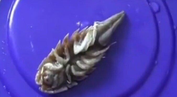 Чужие среди нас, странная тварь в рыбных консервах: видео