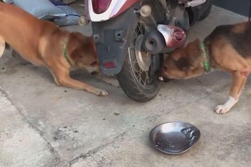 Ссора собак в Таиланде, напоминающая разборку в интернете