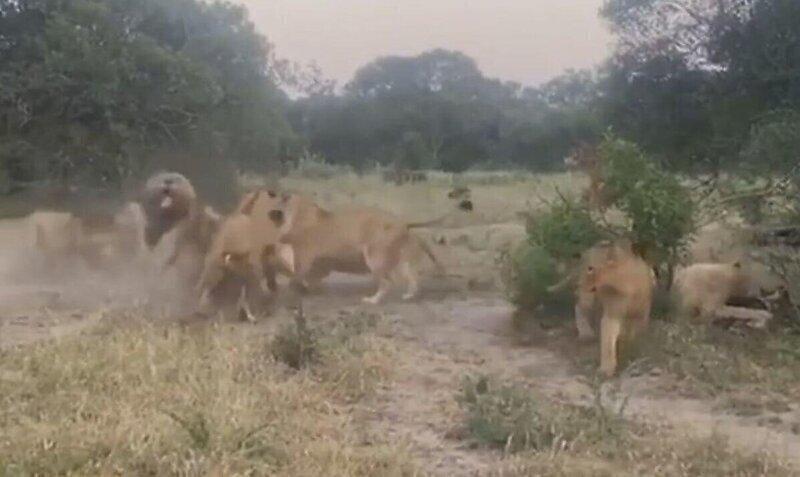 Львицы заступились за молодого льва, которого пытались изгнать конкуренты