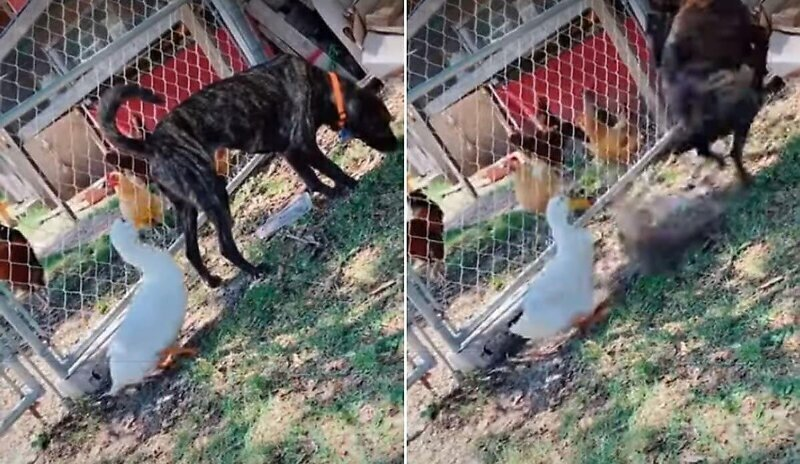 Коварная утка подкралась к псу и клюнула его