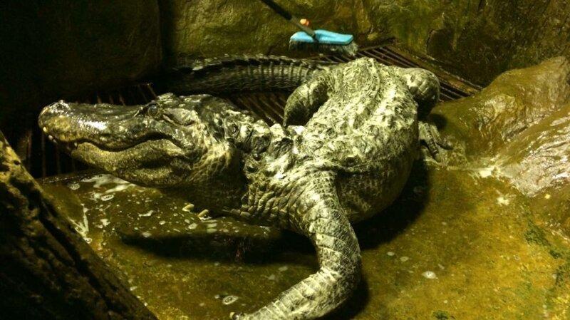 В Московском зоопарке умер «крокодил Гитлера»