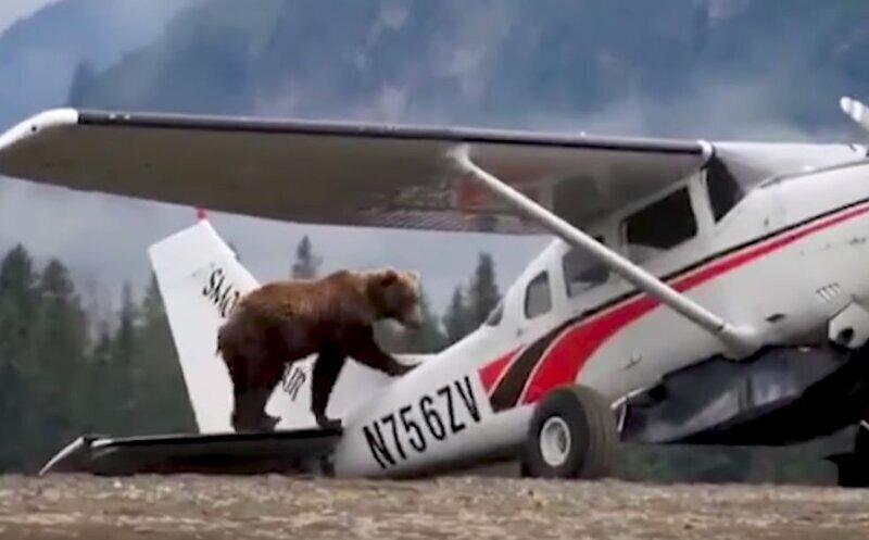 Медведь забрался на самолет и попытался его исследовать