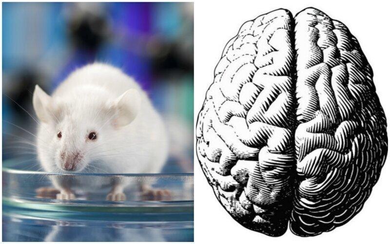 """Ученые нашли в мозге мышей """"выключатель боли"""""""