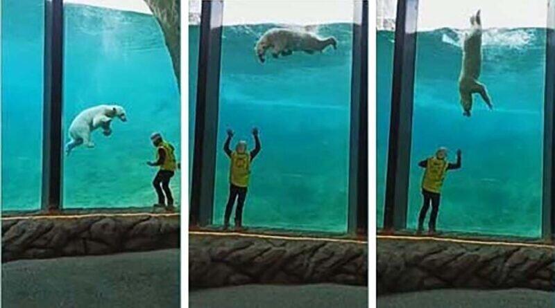 Белый медведь и работник зоопарка поиграли через стекло вольера