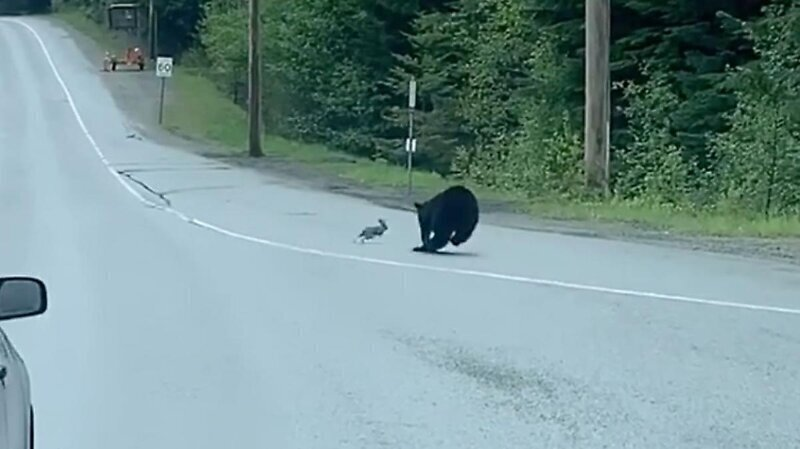 Погоня медведя за кроликом в канадском заповеднике