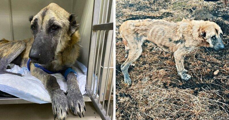 Люди нашли такую худую собаку, что в ней сложно было узнать алабая