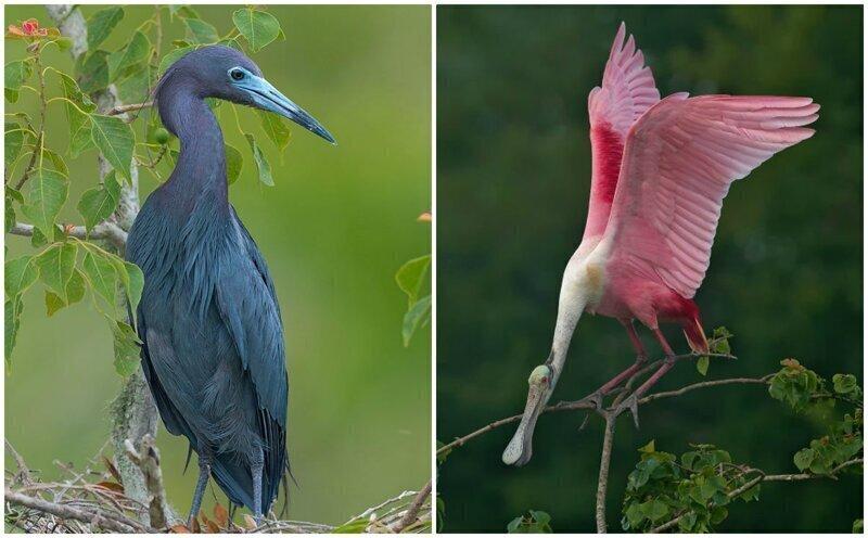 Удивительные птицы из тропиков Южной Америки