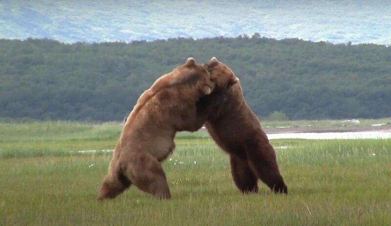 На Аляске медведи устроили разборку за самку