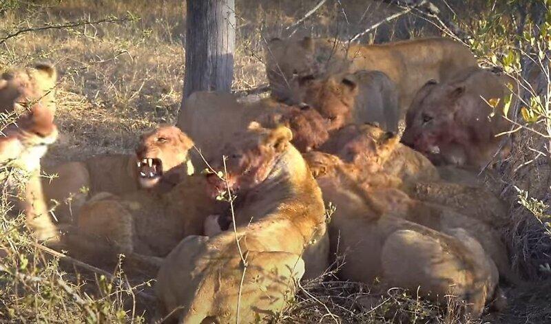 В ЮАР стадо слонов распугало львиный прайд, поедающий антилопу