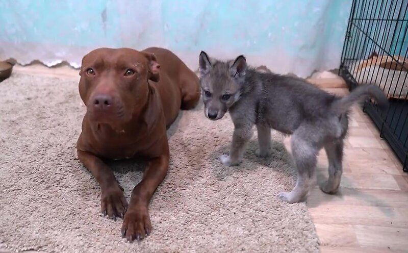 Забавное видео встречи собаки с волчонком