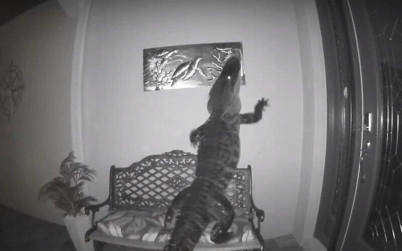 Прибитая к стене табличка привлекла внимание аллигатора
