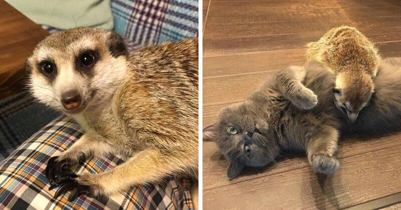Удивительная дружба кота и суриката