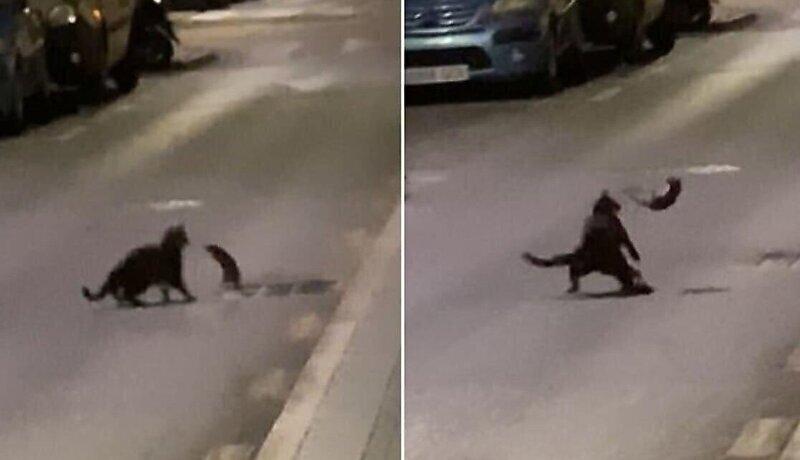 Крыса дала отпор подкравшейся к ней кошке