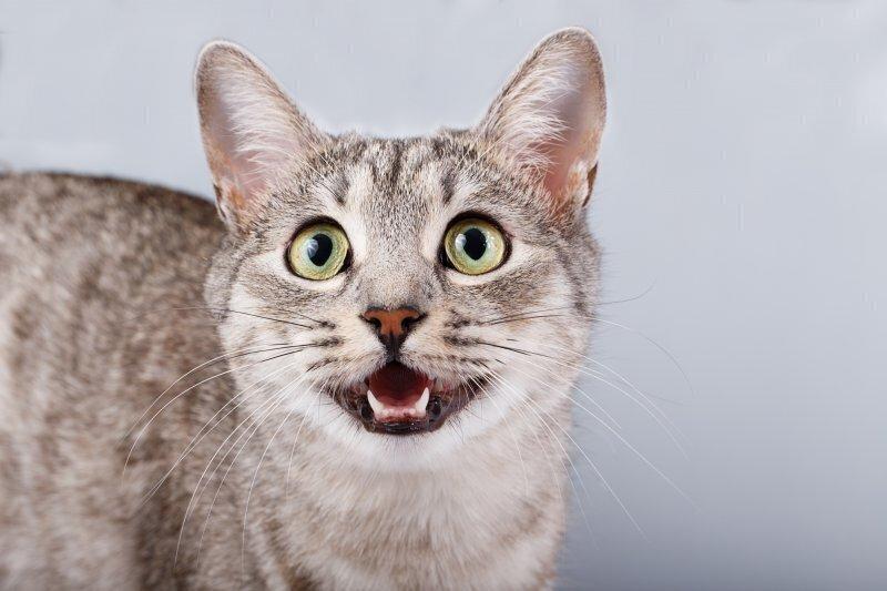 Мяука без звука: по каким причинам кошка может потерять голос?