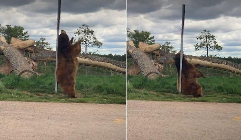 Медведь исполнил танец у шеста
