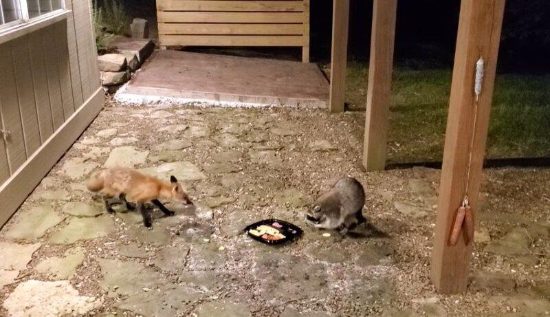 Жадный енот не захотел делиться лакомствами с лисицей