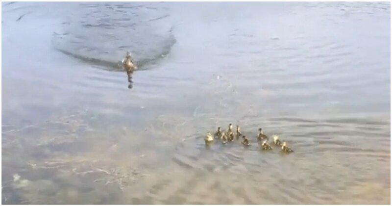 Домашняя утка приняла в семью 10 осиротевших утят