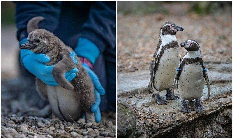 Пингвины спасают британский зоопарк от разорения