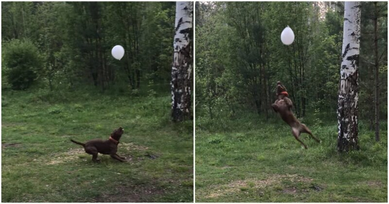 Жизнерадостный пёс играет с воздушным шариком на природе