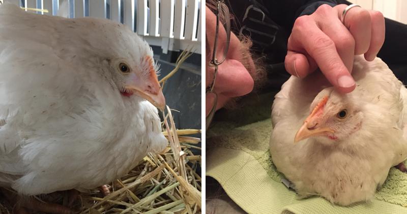 Курица, которая добилась счастья