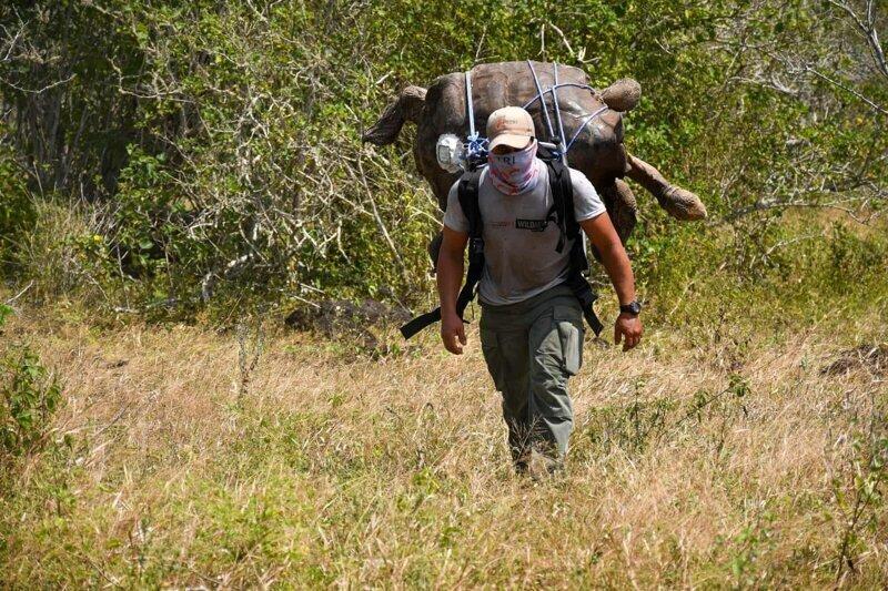 Мужчина несет на спине огромную столетнюю черепаху, чтобы вернуть ее на родной остров Эспаньола