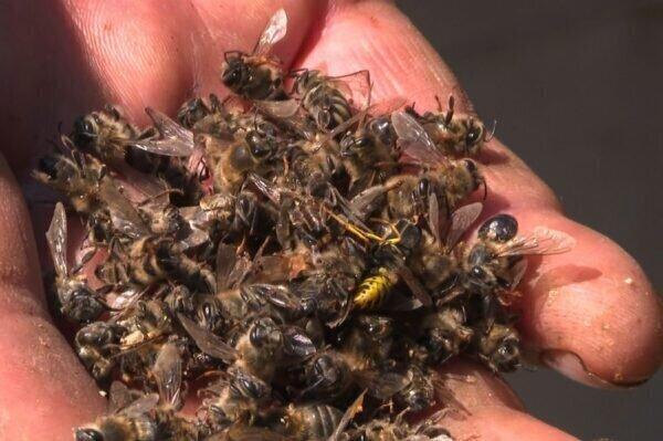 После внезапной гибели в Хорватии более 50 миллионов пчел введен режим «стихийного бедствия»