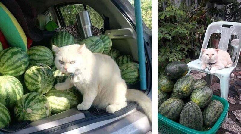 Сердитый кот-охранник с арбузной фермы