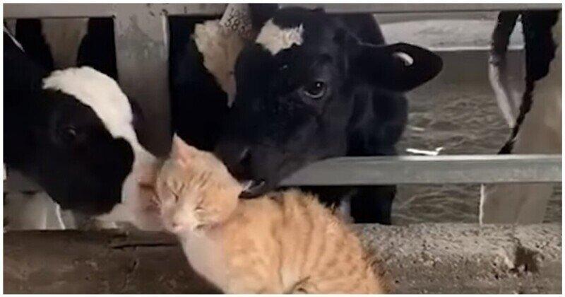 Телята вылизали кота