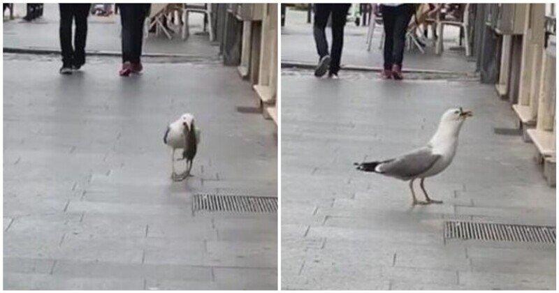 Голодная чайка проглотила крысу