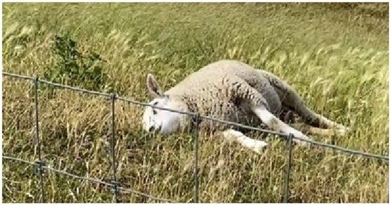 Овца решила перекусить перед сном