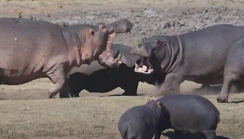 Самка бегемота заступилась за детёнышей в африканском заповеднике