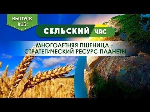 Многолетняя пшеница - стратегический ресурс планеты. Сельский час #15. (Игорь Абакумов)