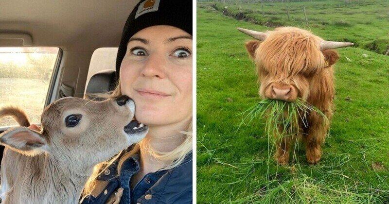 18 фотографий с коровами, которые своей милотой могут посоревноваться с котиками