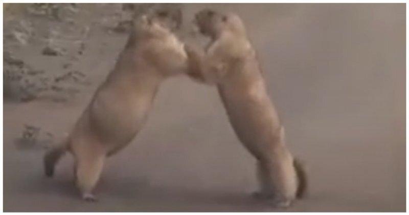 Схватка двух сурков в степи Казахстана попала на видео
