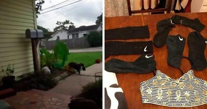 Всё в дом: кот начал воровать трусы и носки у соседей хозяйки