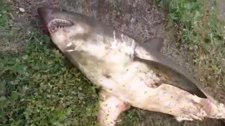 Сахалинский рыбак вместо горбуши выудил из реки 100-килограммовую акулу