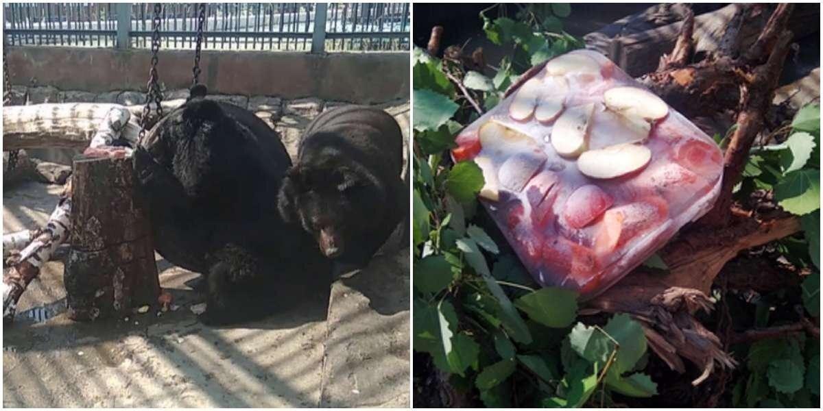 В жару медведям из Екатеринбургского зоопарка дают полезное мороженое