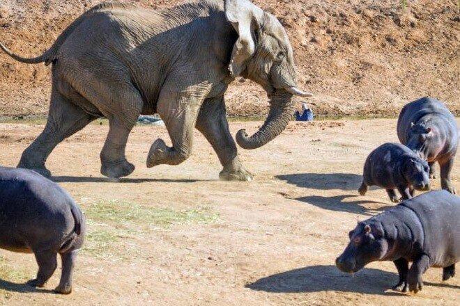 Слон наготове: гигант саванны идет сквозь бегемотов и крокодилов