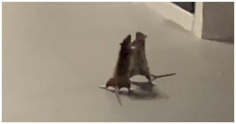 Кошка предпочла не вмешиваться в драку двух крыс
