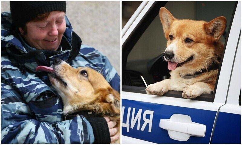 Рыжий - единственный в России полицейский пес породы корги